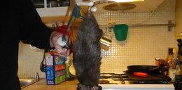 Szczur gigant chciał zjeść kota! FOTO