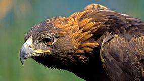 Orły przednie w Tatrach zostaną objęte monitoringiem