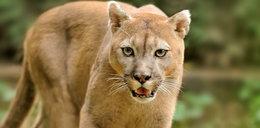 Puma grasuje na Śląsku?