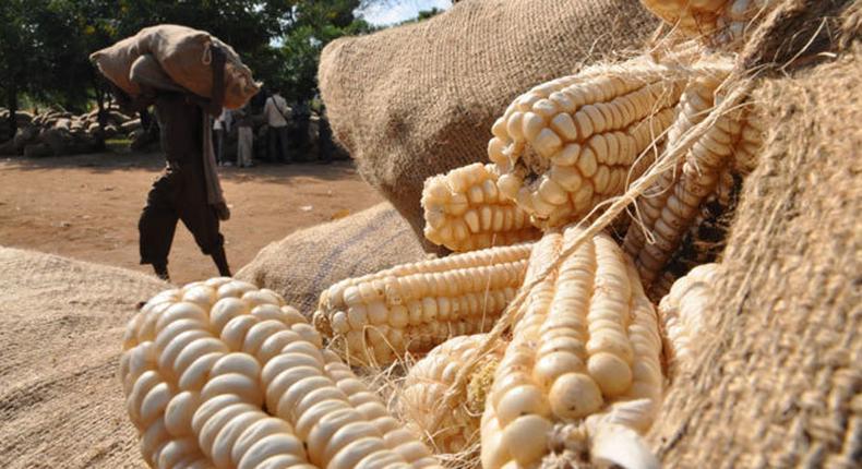 Maize grains. (CapitalFM)