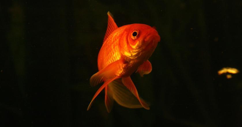 Czy złota rybka spełni życzenia inwestorów w 2017 roku?