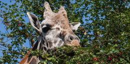 Ta żyrafa uwielbia jarzębinę