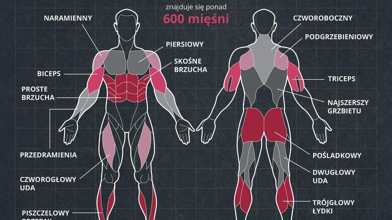 miesnie-jak-powstaja-infografika-onet (2)