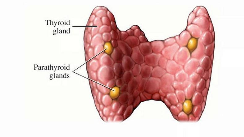Thyroid glands(thyroid)
