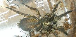 100 jadowitych pająków zagnieździło się w domu