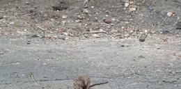 Plaga szczurów. Nie boją się ludzi. FILM