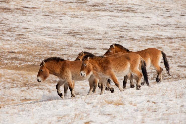 divlji konji prževaljskog