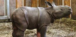 Urodził się nosorożec