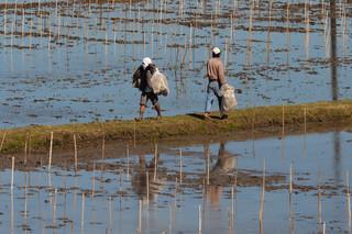 Chiński genetyk wyhodował super ryż: 500 ziaren w kłosie, 140 kwintali z hektara