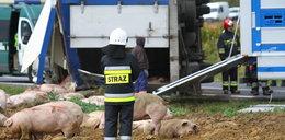 Wypadek ciężarówki ze świniami. Wszystko przez wiatr?