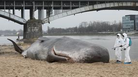 W Warszawie na brzegu Wisły pojawił się wieloryb