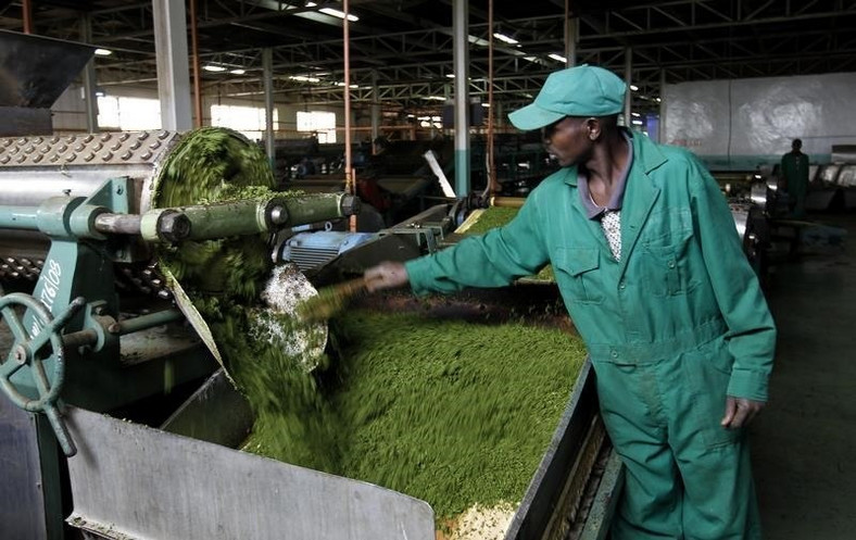 A worker processes tea leaves on a machine inside the Kagwe tea factory in Githunguri, 30 km (18 miles) from Kenya's capital Nairobi, January 6, 2012.