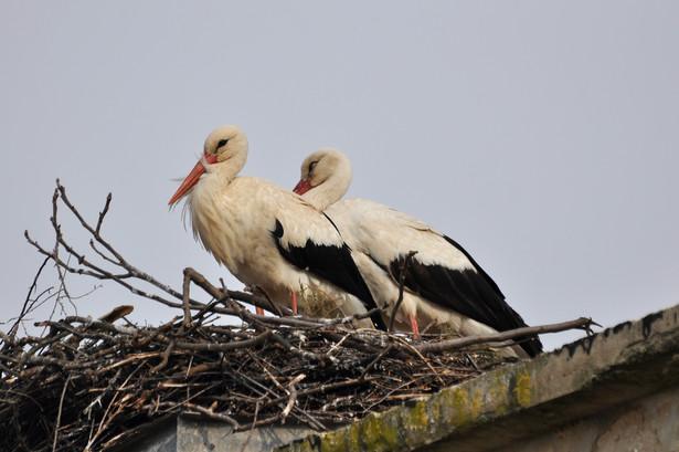 Od wielu lat w Przemyślu zimę spędzają ptaki, głównie bociany, z połamanymi skrzydłami lub nogami, poturbowane po upadku z gniazd, postrzelone lub porażone prądem