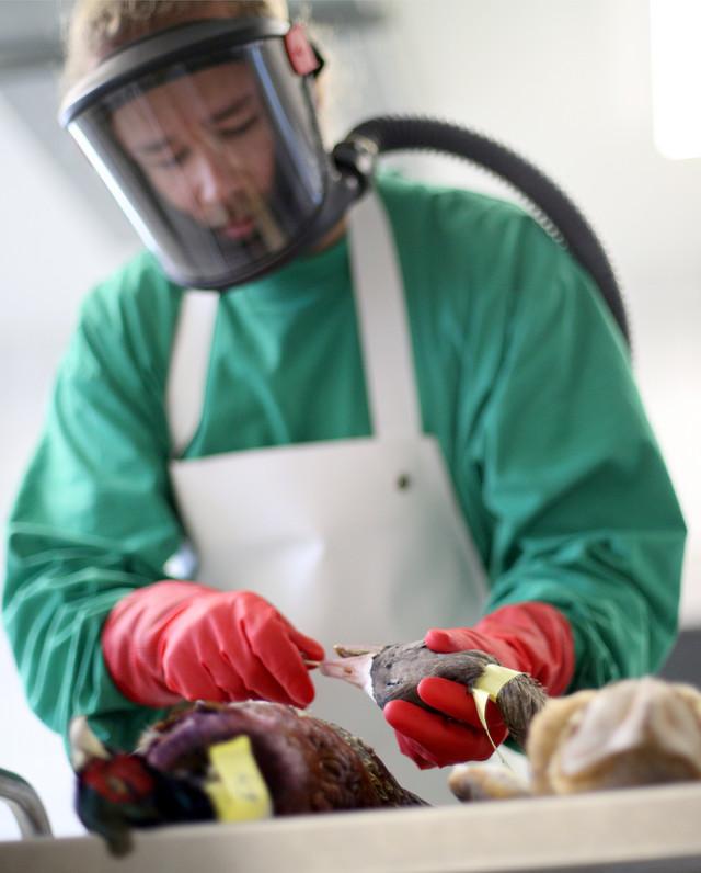 Testiranje živine na ptičji grip u Krefeldu, Nemačka