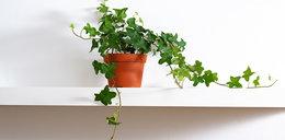Te rośliny oczyszczą powietrze z toksyn