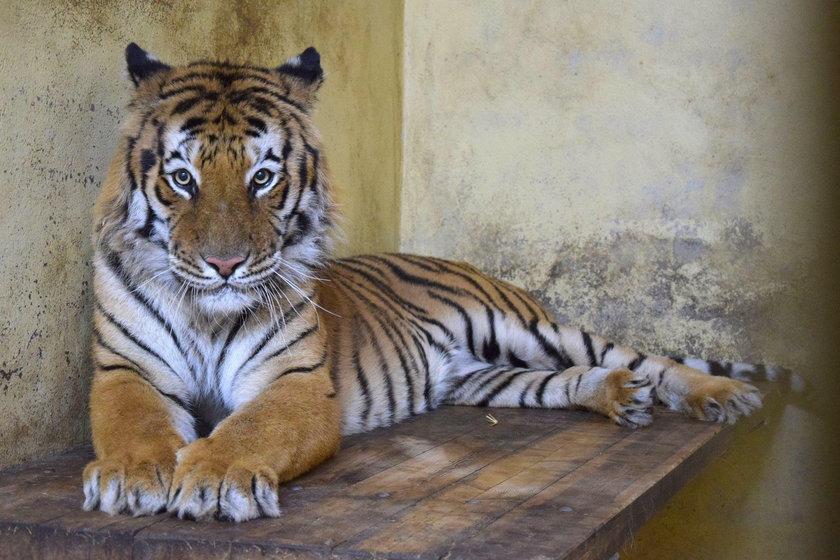 Urzędnicy ściagają dyrektor zoo
