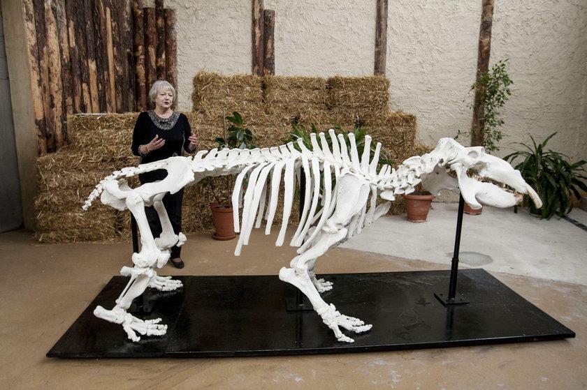 Chorzów. Odsłonięcie szkieletu hipopotama Hipolita