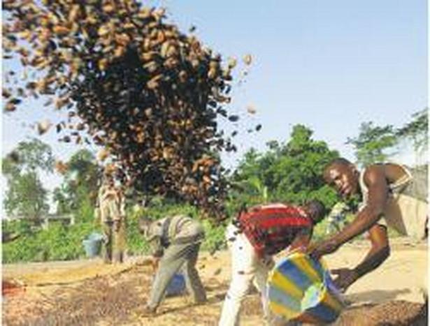 Ward zrobi świetny interes, zbiory ziaren kakao na Wybrzeżu Kości Słoniowej będą niewielkie. To wystarczy, by zarobić na spekulacji Fot. REUTERS/FORUM