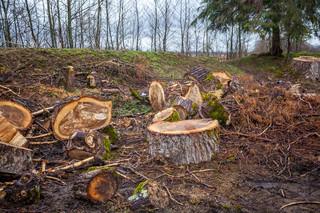 Drzewa padają zbyt gęsto. Sejm pracuje nad powstrzymaniem siekierezady