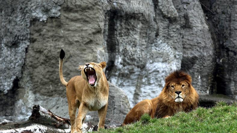 Para lwów na wybiegu