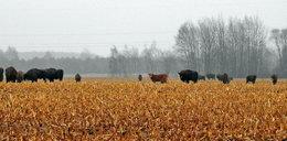 Polska krowa uciekła ze wsi i przyłączyła się do stada żubrów!