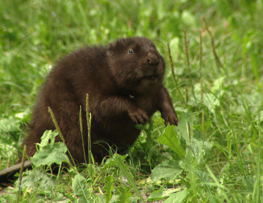 Myśliwi zastrzelą tylko w rejonie Elbląga 80 bobrów.
