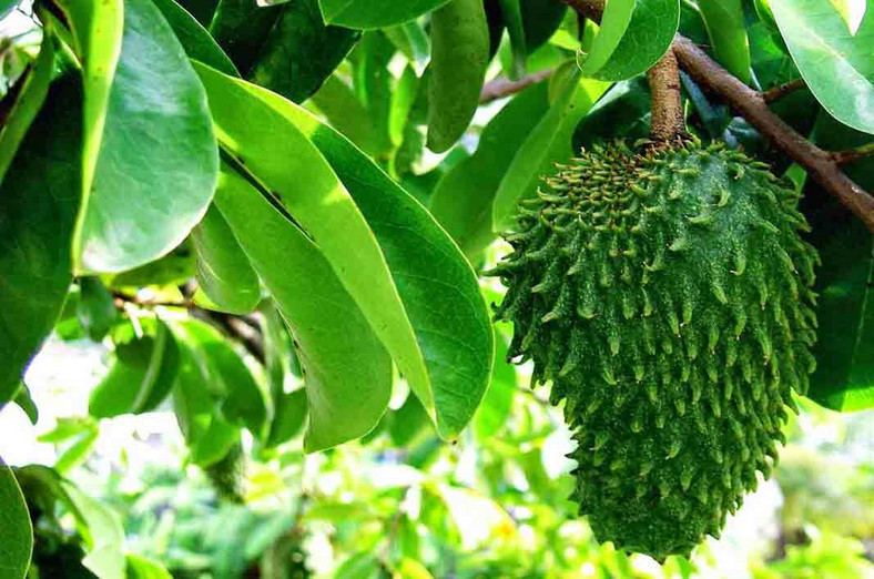 Soursop leaves treats insomnia, cancer amongst other diseases [Marieclauredogit]