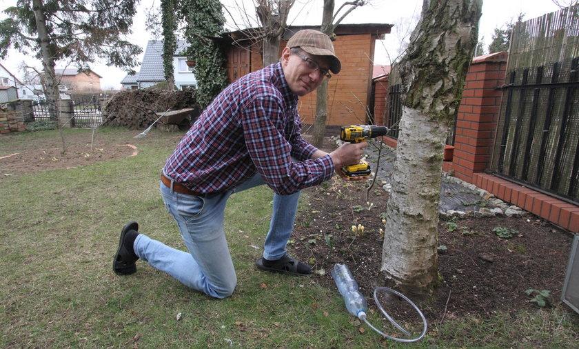 Pan Piotr lubi popijać sok z drzewa