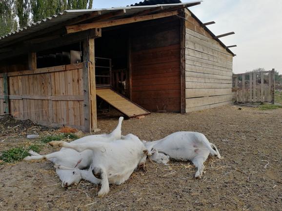 Koze nisu otrogvane