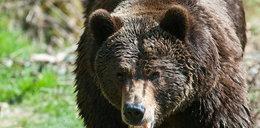 Tregedia w Bieszczadach. Niedźwiedź zabił pana Stanisława