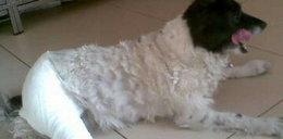 Pies ma łapy w gipsie, bo szczekał!
