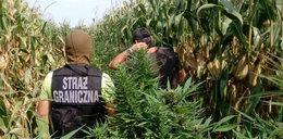 Zobacz, gdzie handlarze narkotyków ukryli plantacje marihuany