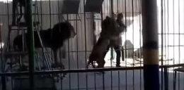 Tragedia w cyrku - lew zabił pogromcę! FILM