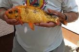 zlatna ribica, hrvatska