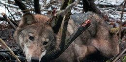 Naukowiec ocalił wilczycę uwięzioną w sidłach