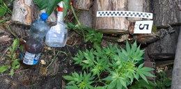 Policjanci znaleźli 32 krzaki konopi