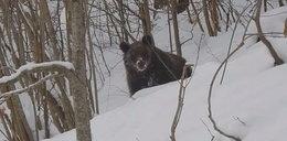 """Spotkał niedźwiedzia w Bieszczadach. Zaskakująca reakcja """"Grzesia"""""""