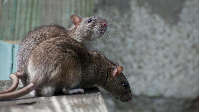 Deratyzatorzy przyznają, że w Szczecinie problem ze szczurami jest coraz większy.