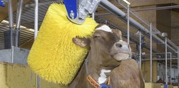 Oto myjnia dla krów!