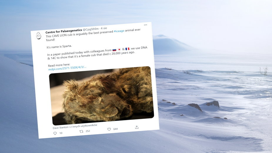 Lew jaskiniowy znaleziony na Syberii jest w doskonałym stanie