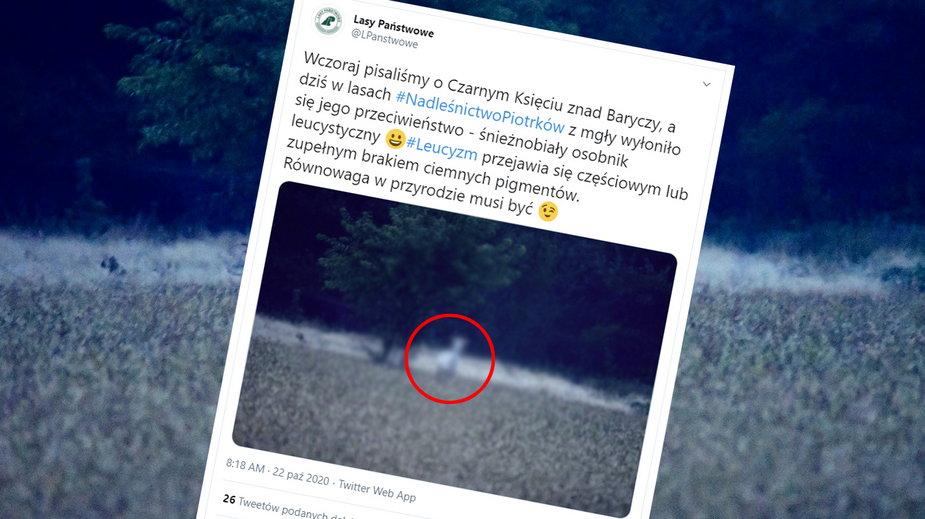 Biały daniel widziany w lasach Nadleśnictwa Piotrków