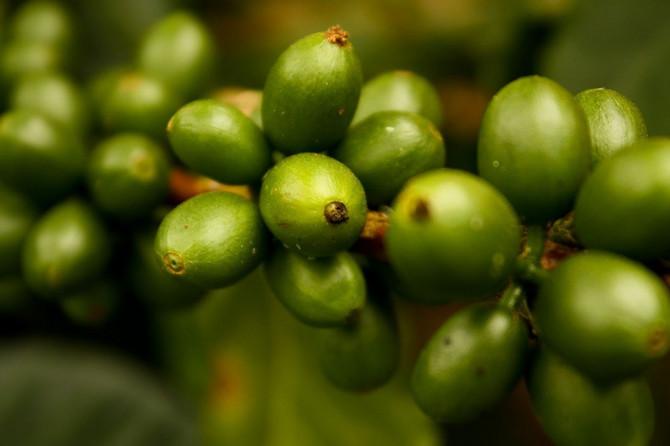 Sirova kafa je bez premca najveći izvor hlorogenske kiseline