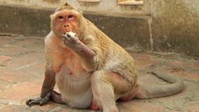 """""""Wuj Tłuścioch"""" - otyły makak z Bangkoku przechodzi na dietę"""