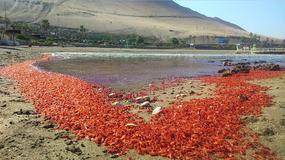 Pacyfik wyrzucił miliony martwych krewetek na chilijskie wybrzeża