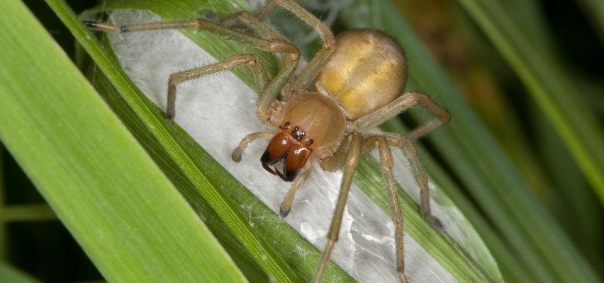 Groźny pająk grasuje w Polsce! Jak go rozpoznać?