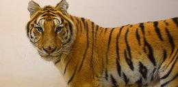 Tygrysy ruszyły z zoo w Poznaniu do azylu w Hiszpanii