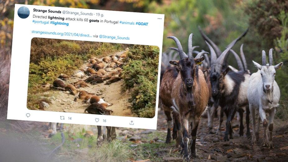 Piorun śmiertelnie poraził stado liczące 68 kóz