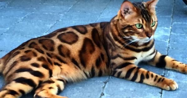 Ten Kot Nie Jest Krzyżówką Z Lampartem I Tygrysem Ma Cętki Prążki
