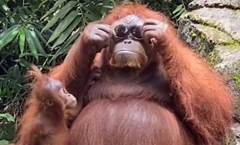 Mama orangutan wyglądała w okularach niezwykle twarzowo.