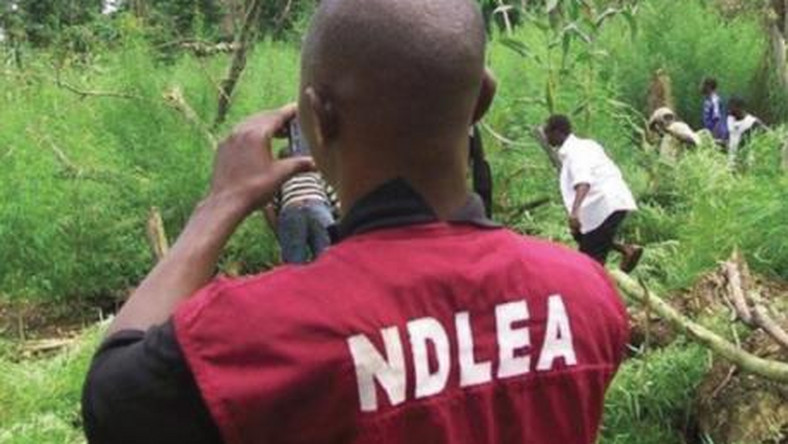 NDLEA uncovers suspected cannabis warehouse in Benin (Illustration)